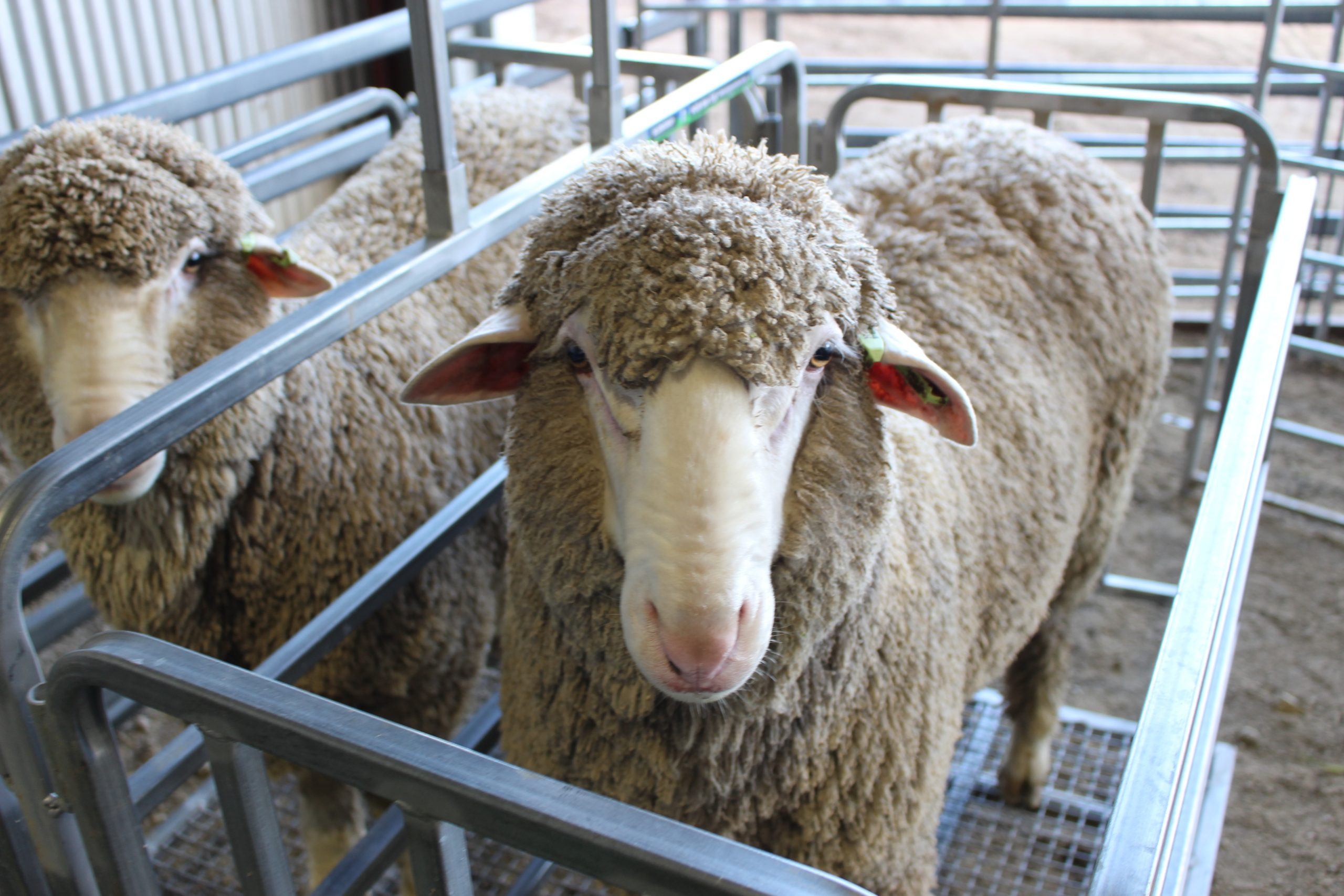 Poll Merino rams, sheep genetics, MerinoSelect, RamSelect, wool production, dual purpose merinos